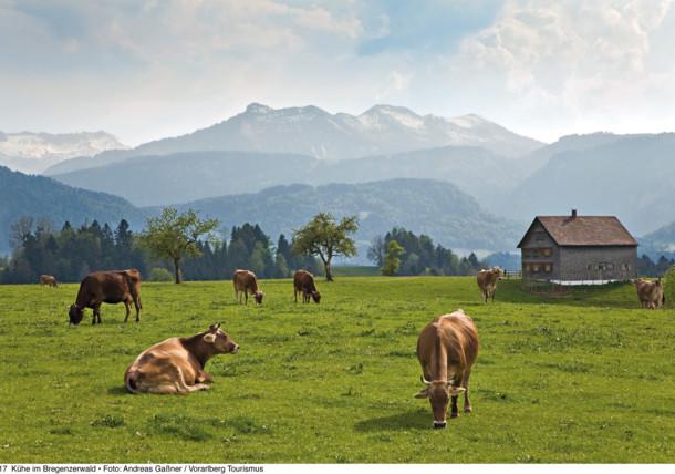 Cows in the pastures in Bregenzerwald, Vorarlberg