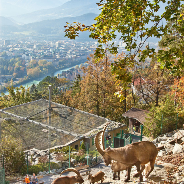 Alpenzoo Innsbruck - Steinböcke