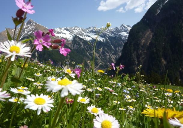 Blumenwiese vor Alpenpanorama