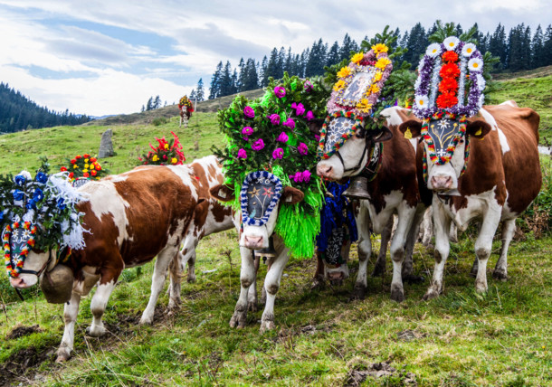 Almabtrieb Cattle Drive