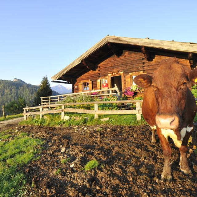 Een koe in de wei
