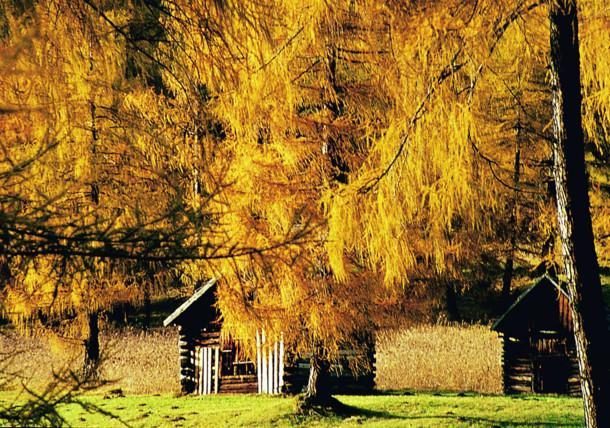 Herbstliche Lärchenwiesen in Obsteig