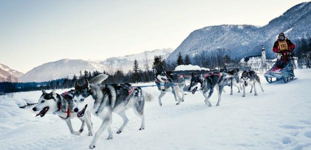 Schlittenhunde in St. Ulrich am Pillersee